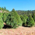 Se estiman ventas de 700 mil árboles de Navidad naturales