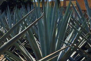Cambio climático, la mayor amenaza para la producción de tequila