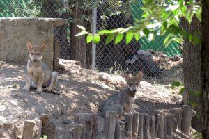 Nombran Pakki y Nashoba a cachorros de lobo mexicano del Zoo de Aragón