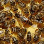 ¿Por qué no todas las abejas pueden ser reina?