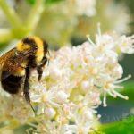 Declaran en peligro de extinción especie de abejorro