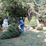Abren 235 centros de acopio para árboles de Navidad naturales