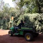 Abren vivero para acopio de árboles de Navidad