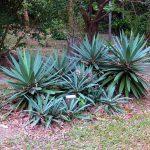 Hallan agave que se creía extinto en Yucatán