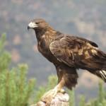 El águila real: símbolo celeste y ave de luz