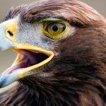 Águila real, estandarte de México en su lucha a favor de las aves