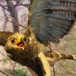 Aguililla gris, el huésped de honor en Museo de Historia Natural