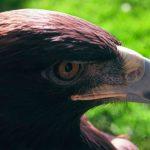 Detectan nuevo territorio de anidación de águila real