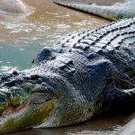 Aprovechamiento del cocodrilo de pantano