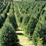 Conoce puntos de venta de árboles navideños mexicanos