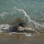 Arriban más de 873 mil tortugas golfinas