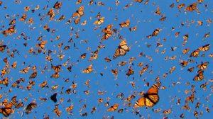 arribo-monarca