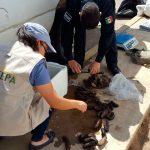 Detienen cargamento ilegal de 200 pepinos de mar