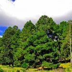 Aumenta 63 % la sobrevivencia de árboles plantados en reforestación