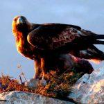 Continúan los avistamientos de águila real en el país