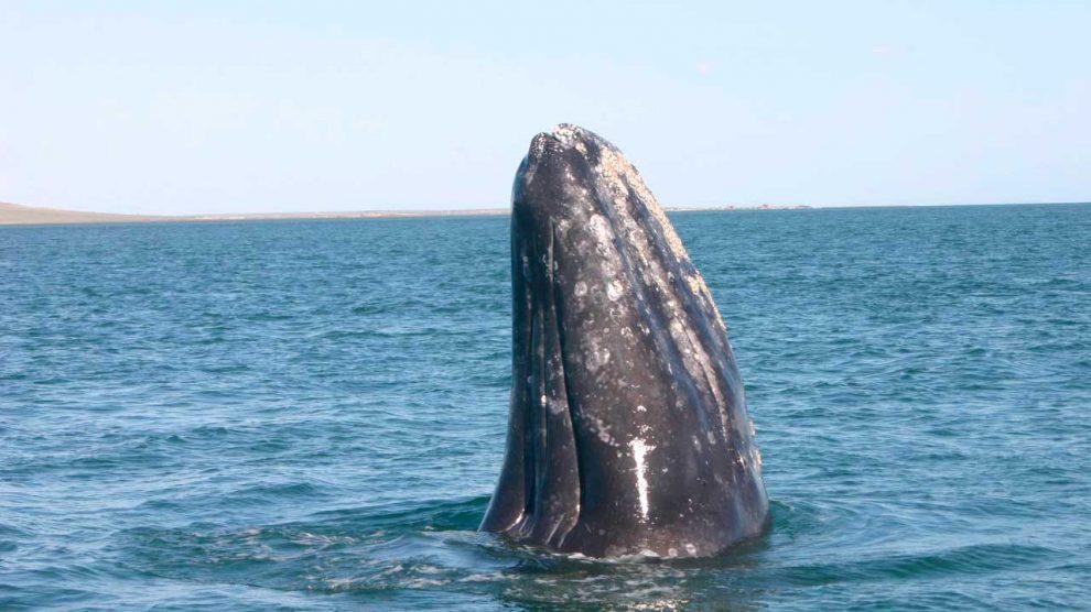 ballena-gris01