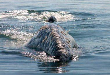 ballena-gris03