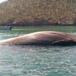 Ataque de orcas deja ballena muerta en muelles de Sonora
