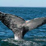 Disminuye presencia de ballenas grises en Baja California Sur
