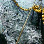 Sobrepesca amenaza atún en el Pacífico Oriental