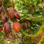 Cacaotales, posible solución ante tala en la Lacandona