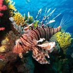 Caribe mexicano vive la amenaza del pez león