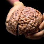 Derrumban mito que humanos usen solo 10 por ciento del cerebro
