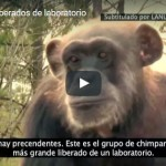 chimpances-liberados
