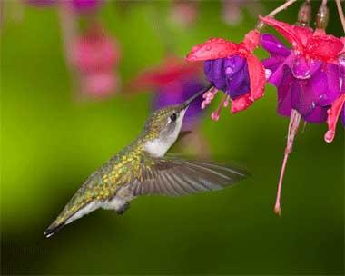 Resultado de imagen para colibries de mexico