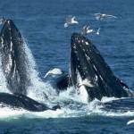 Comienza llegada de ballena gris a Reserva de la Biosfera El Vizcaíno