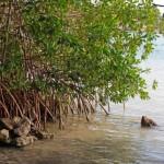 ¿Cómo conservar los manglares?
