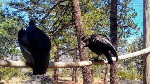 condor-reintroducen