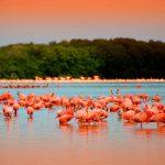 Conoce al flamenco rosado