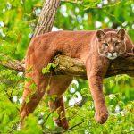 Puma, pieza del mes en Museo de Historia Natural