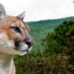Pronuncian acciones para la conservación del puma