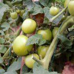 Biotecnología para control de bacterias en tomate