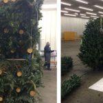 Detectan mil 400 árboles de Navidad con plaga en Sonora