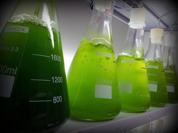 Cultivan microalgas en aguas residuales para producir