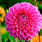 Dalia y biotecnología en la flor nacional