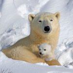 Hoy se celebra el Día del Oso Polar