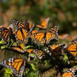 Dirigen carta sobre mariposa monarca a líderes de América del Norte