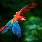 En peligro guacamayo rojo por tráfico ilegal
