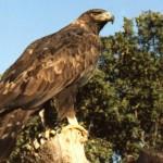 Donarán 3 millones de pesos para proyecto de recuperación del águila real