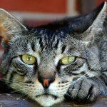 Singularidades del gato doméstico