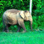 Construcción de carretera amenaza a elefantes pigmeos de Sabah