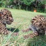 Recatan 2 crías de jaguar en Calakmul