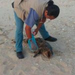 Encuentran cuarta vaquita marina muerta