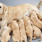 Esterilización temprana podría salvar a tu perro