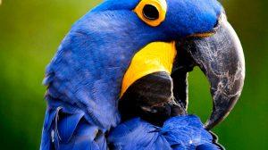 guacamayo-azul01
