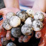 Autoridades recuperan botín de 315 huevos de tortuga
